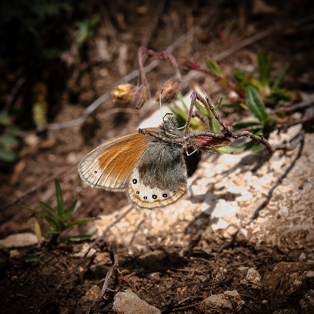 Coenonympha gardetta - 2012-08-02-_DSC145