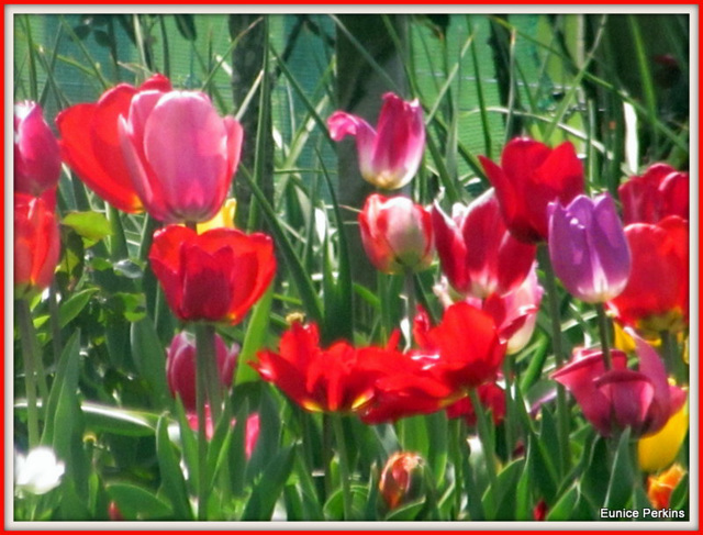 Poppies, Red, Purple, Pink.