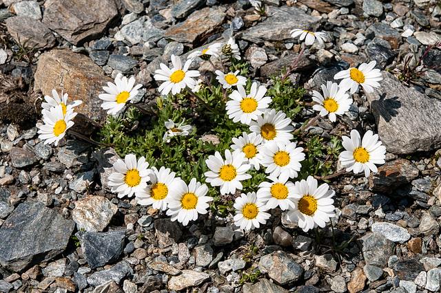 Leucanthemopsis alpina s. str. - 2012-07-16-_DSC0982