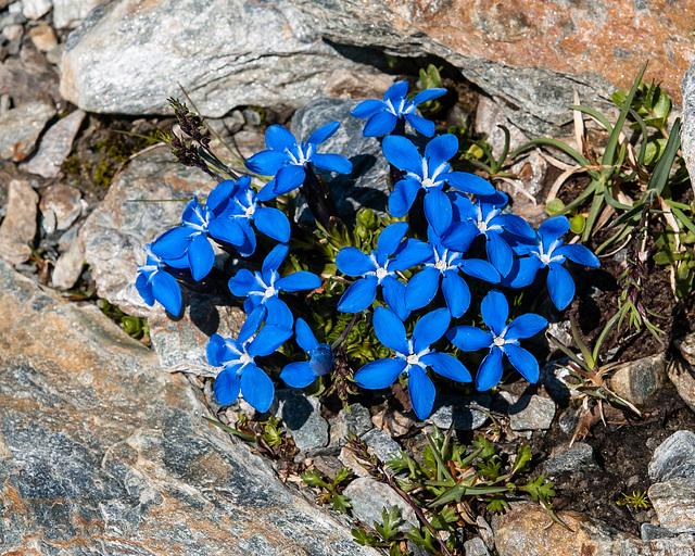 Gentiana orbicularis (?) - 2012-07-16-_DSC0978