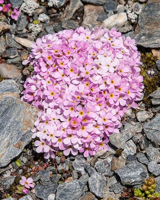 Androsace alpina - 2012-07-16-_DSC0959
