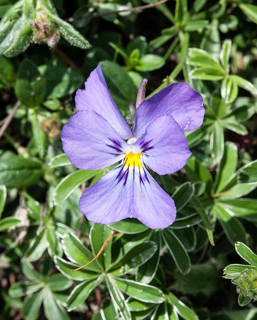 Viola calcarata - 2012-07-04-_DSC0346