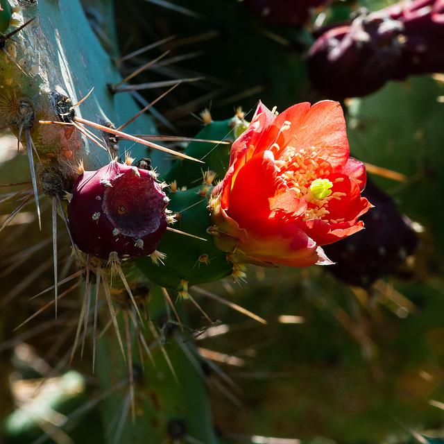 Opuntia bergeriana - 2012-06-17-aa-_DSC9938
