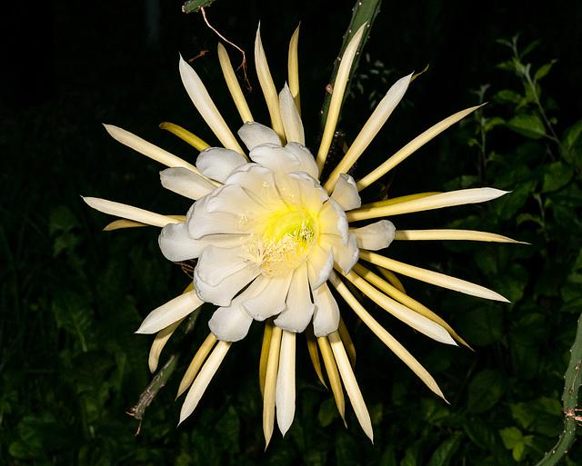 Selenicereus grandiflorus, Hybride, KdN-07 - 2012-06-17-_DSC0058