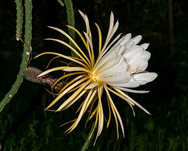 Selenicereus grandiflorus, Hybride, KdN-07 - 2012-06-17-_DSC0051