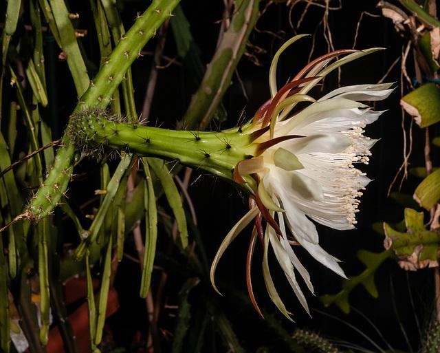 Selenicereus spinulosus - 2012-05-08-_DSC8966