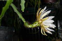 Weberocereus glaber - 2012-04-01-_DSC6913