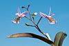 Barkeria spec. / Hybride - 2012-03-26-_DSC6767