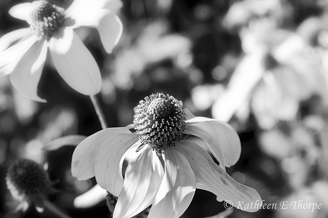 Floral Black and White - Explore December 7, 2012
