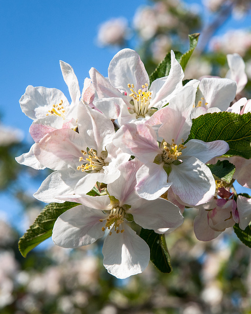 Apfelblüten - 2008-04-27-_DSC0109