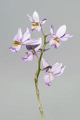 Barkeria whartoniana - 2012-12-09-_DSC3929