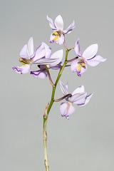 Barkeria whartoniana - 2012-12-09-_DSC3928