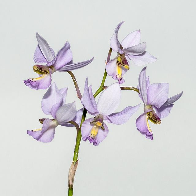 Barkeria whartoniana - 2012-12-09-_DSC3926