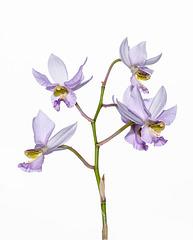 Barkeria whartoniana - 2012-12-09-_DSC3922