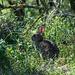 Wildes Kaninchen - 2012-05-03-_DSC8578