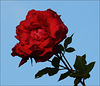 Rote Rose - blauer Himmel / rose rouge - bleu ciel / red rose - blue sky