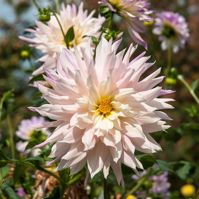 Dahlia, Dahlie - 2012-10-04-_DSC2670