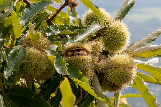 Edelkastanie, Castanea sativa - 2012-10-06-_DSC2772