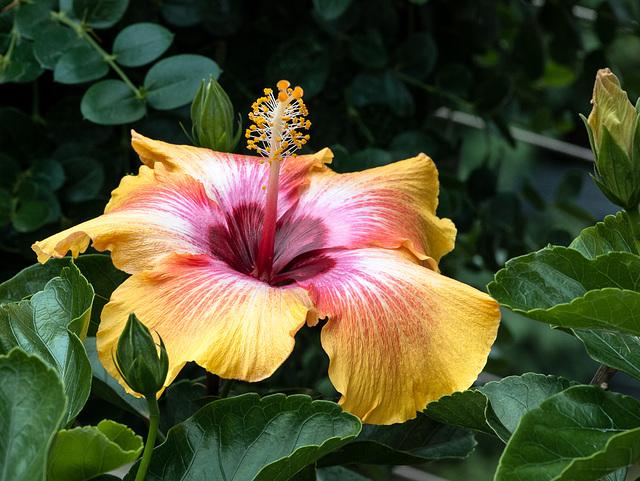 Hibiscus-Hybride - 2012-10-04-_DSC2686