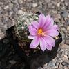 Mammillaria insularis - 2012-08-19-_DSC1843