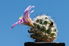 Mammillaria insularis - 2012-08-19-_DSC1849