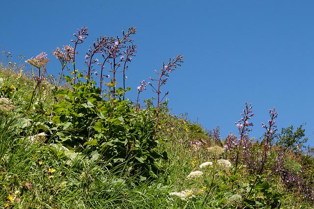 Hochstaudenflur mit Cicerbita alpina - 2012-08-15-_DSC1633