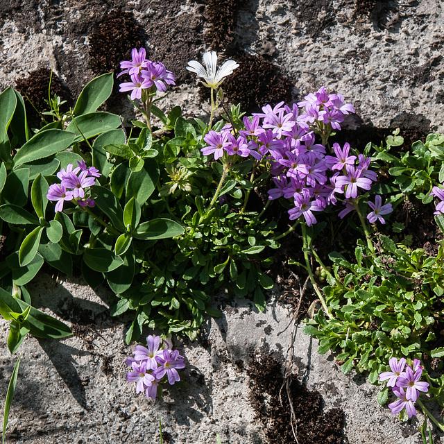 Erinus alpinus, Leberbalsam - 2012-08-15-_DSC1730