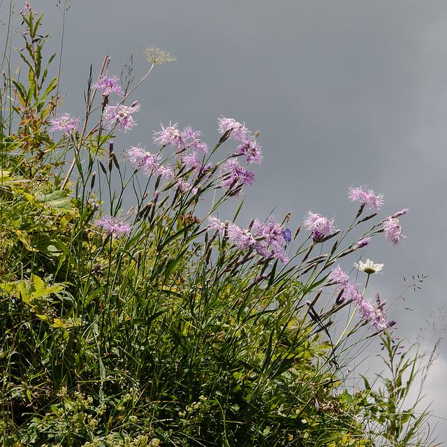 Dianthus superbus,, Prachts-Nelke - 2012-08-15-_DSC1722