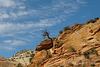 Zion National Park -  Pinon Past Its Prime