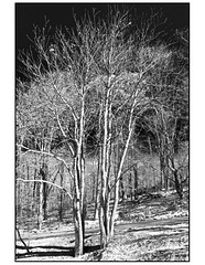 Trees in snow black and white