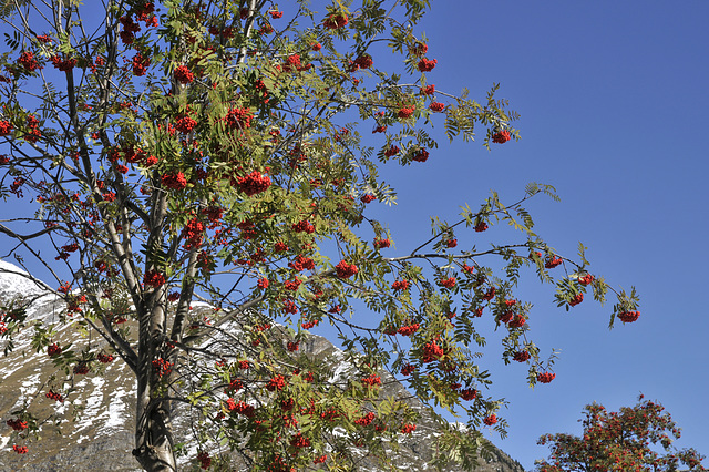Sorbus spec. - 2013-10-18-_DSC9328 - Copy