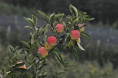 Apfel, Äpfel, Sorte 'Golden Delicious' - 2013-10-04_DSC8476 - Copy