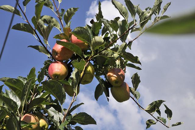 Apfel, Äpfel, Sorte 'Gala' - 2013-09-01_DSC8345 - Copy