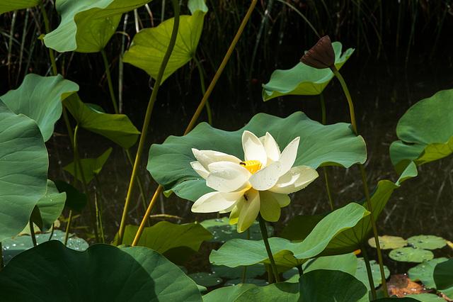 Lotos-Blume, -Frucht und -Blätter - 2013-08-27-_DSC7815