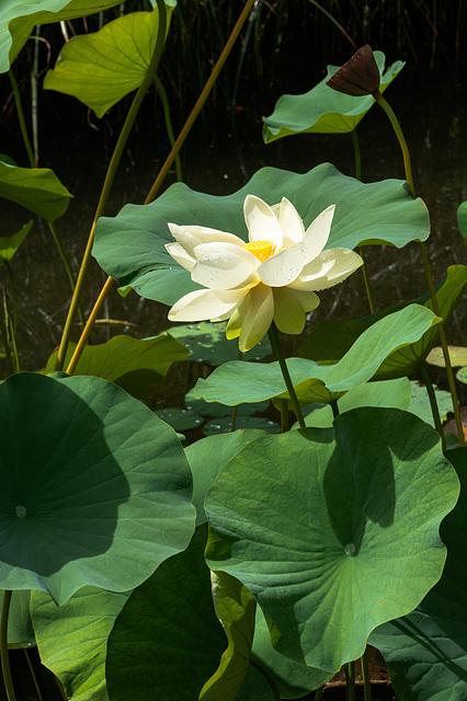 Lotos-Blume, -Frucht und -Blätter - 2013-08-27-_DSC7821