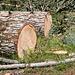 Äolisches Baumsterben, schöne Stämme von Weisstannen - 2013-08-16-_DSC7634
