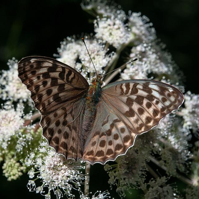 Kaisermantel-Weibchen, dunkle Form - 2013-08-16-_DSC7552