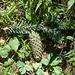 Äolisches Baumsterben, Zapfen einer Weisstanne - 2013-08-16-_DSC7620