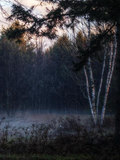 birches and mist