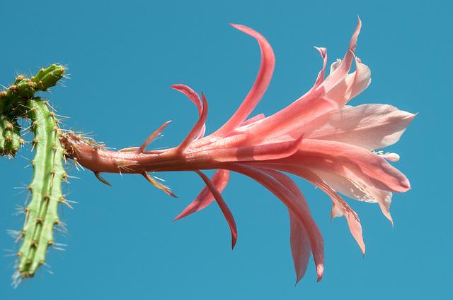 Disocactus-Epiphyllum-Hybride, Aporophyllum ,Dawn' - 2013-06-17-_DSC5798