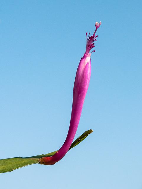 Disocactus quezaltecus - 2013-04-18-_DSC4897