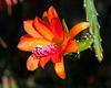 Disocactus aff. cinnabarinus / Patzun - 2012-05-26-_DSC9423