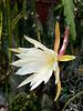 Disocactus-Epiphyllum-Hybride - 2011-04-15-_DSC6323
