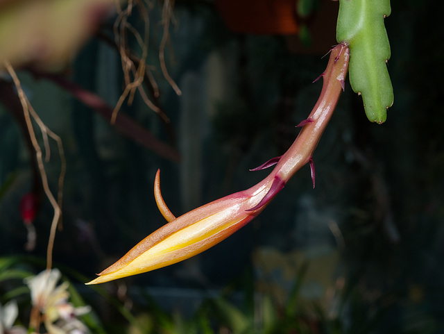 Disocactus-Epiphyllum-Hybride - 2011-04-13-_DSC6302