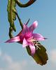 Disocactus nelsonii - 2012-03-25-_DSC6729