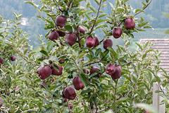 Äpfel 'Red Delicious' - 2013-10-04-_DSC8404