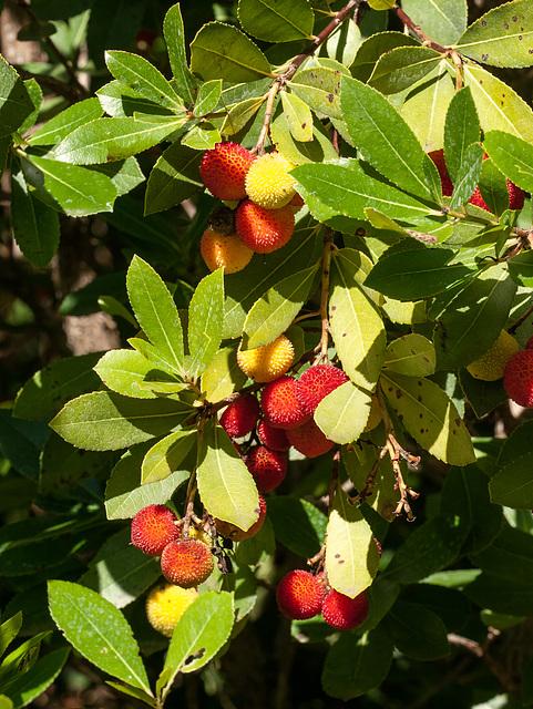 Westlicher Erdbeerbaum, Arbutus unedo - 2013-10-17-_DSC9259 neu