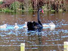 Mama Swan and Her Cygnets.