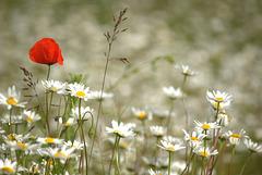 Fleurs des près