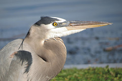 Another Link in the Chain - eye of the Great Blue Heron..